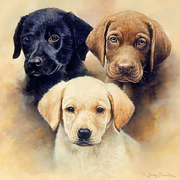 ivory lab puppies