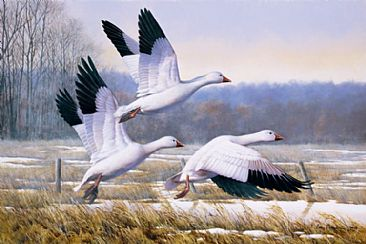 Chance of A Snow - Snow Geese by Larry Chandler
