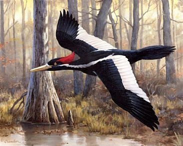 Elusive  Ivory-Governor's Edition - Ivory-billed Woodpecker by Larry Chandler