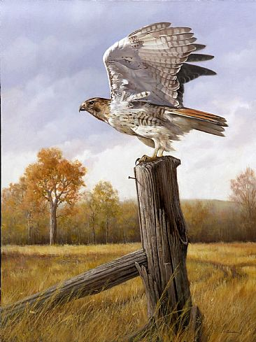 Frequent Flyer - Red Tailed Hawk by Larry Chandler