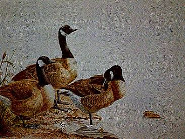Canada Geese - Canada Geese by Josephine Smith