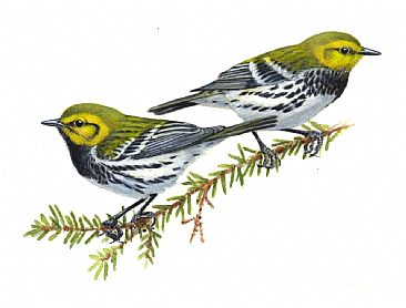 Illustration:Black-throated Green Warblers - Black-throated Green Warblers by Jon Janosik