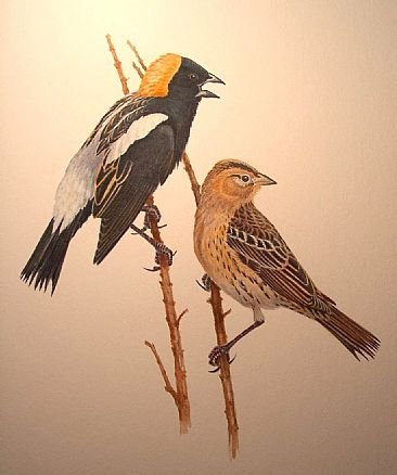 Bobolink pair - Illustration: Bobolink M&F by Jon Janosik