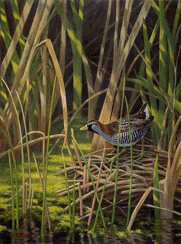 In the Realm of the Sora - Sora Rail; Porzana carolina by Jon Janosik