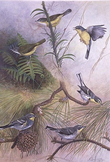 Warbler Hybrids II - Intergeneric and Interspacific N.A. Warbler Hybrids II by Jon Janosik