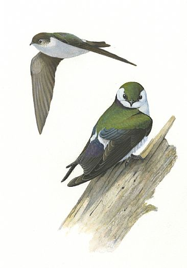Illustration: Violet-green Swallows - Violet-green Swallows by Jon Janosik