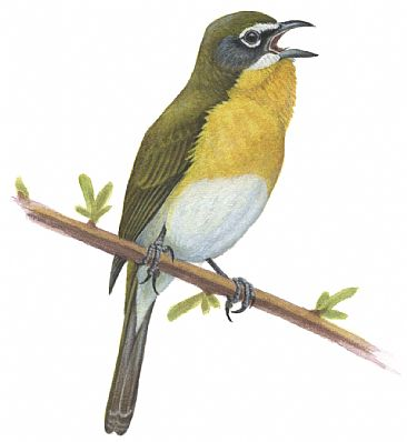 Yellow-breasted Chat - Yellow-breasted Chat; Icteria virens by Jon Janosik