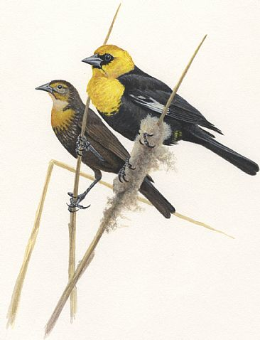 Illustration: Yellow-headed Blackbirds - Yellow-headed Blackbirds M&F by Jon Janosik