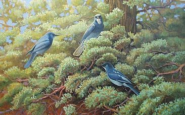 Pinyon Jays: Tumalo Oregon - Pinyon Jays;Gymnorhinus cyanocephalus by Jon Janosik