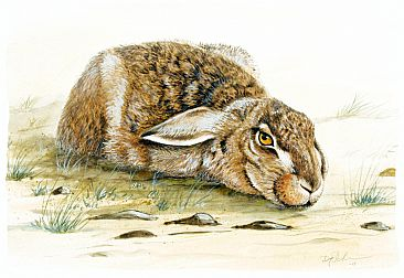 Hare - Field Hare by Dag Peterson
