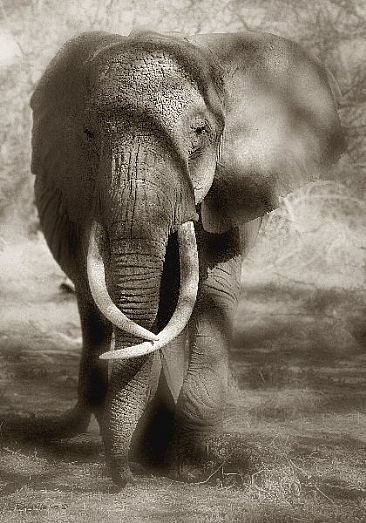 Through the Shadows (A) - African Elephant by Douglas Aja