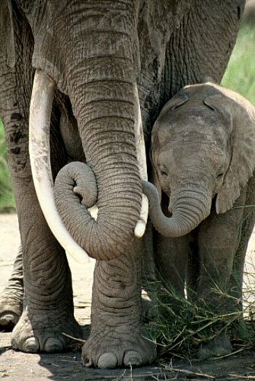 Elephant Mother & Calf (color) - African elephant by Douglas Aja