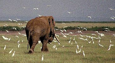 Elephant & Egrets (color) - African Elephant & Cattle Egrets by Douglas Aja