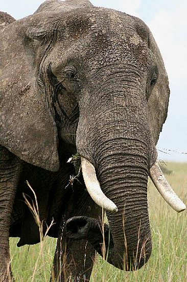 Mara Matriarch (color)  - African Elephant by Douglas Aja