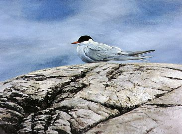 Arctic Tern - Arctic Tern by Bo Lundwall
