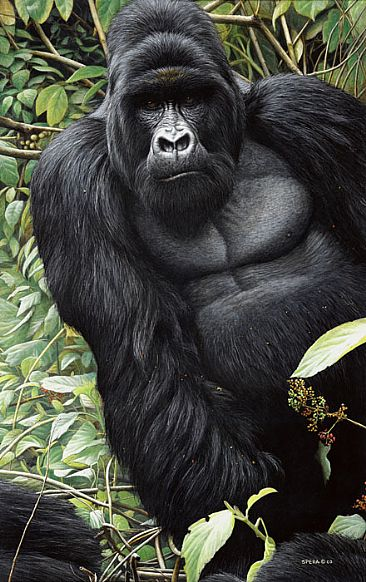 King Kasaringa - Silverback Mountain Gorilla by Edward Spera
