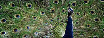 Colours of India - Peacock by Edward Spera
