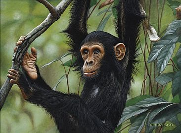 Gombe Girl - Young Chimpanzee by Edward Spera
