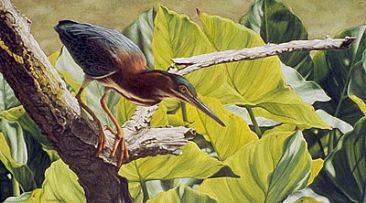 Poised - Little Green Heron  (SOLD) by Sandra Blair