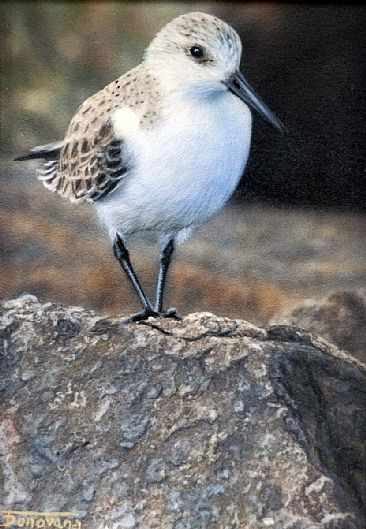 Morning Light - Sandpiper by Tim Donovan