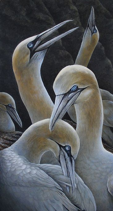 Amoureux Fou - Northern Gannet by Claude Thivierge