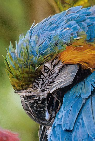 A PEACEFULL GROOM_DETAIL - BLUE AND GOLD MACAW by Stephen Jesic