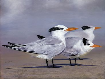 Tern Trio - Terns by Patsy Lindamood