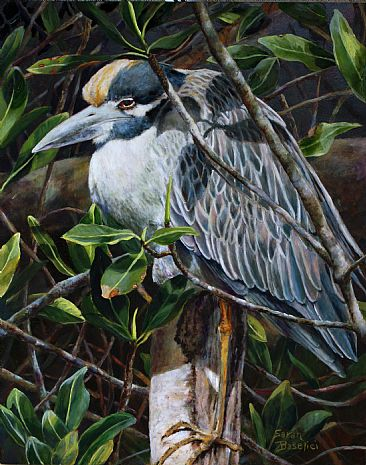 Yellow-crowned Night Heron - Yellow-crowned Night Heron napping in the mangroves by Sarah Baselici