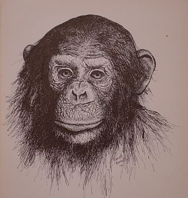 Chimp - Study of a chimp face by Sarah Baselici