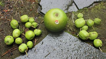 Nature´s one bad apple - fruit and fake apple, GMO by Hilde_Aga Brun