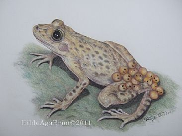 Threatened Midwife toad species Alytes mulentsis - Threatened Midwife toad species  by Hilde_Aga Brun