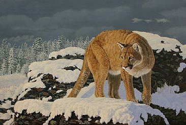 Cougar in the Snow - mountain lion in winter by Chris Frolking