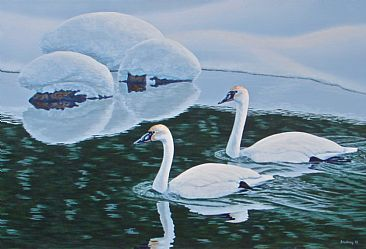 Trumpeter Swans - Trumpeter Swans in the Snake River by Chris Frolking