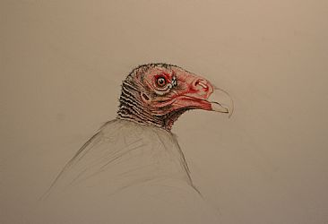 Vulture (study) - Study for later work by Derek Bond