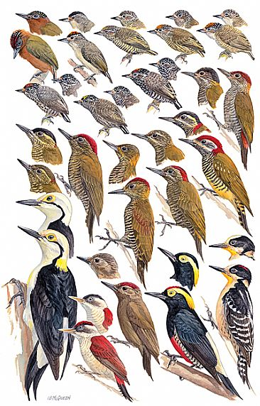 WOODPECKERS 1  - Birds of Peru by Larry McQueen