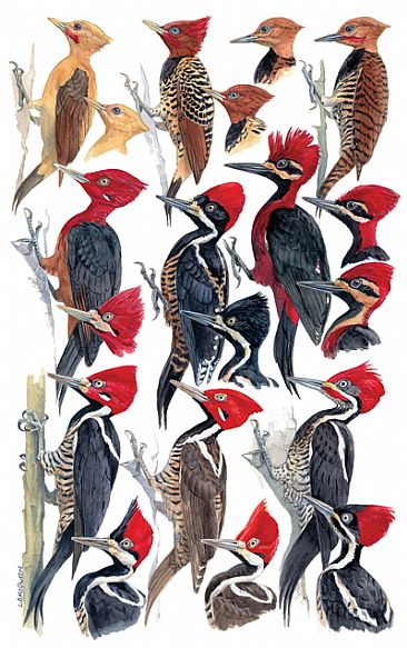 WOODPECKERS 3 - Birds of Peru by Larry McQueen