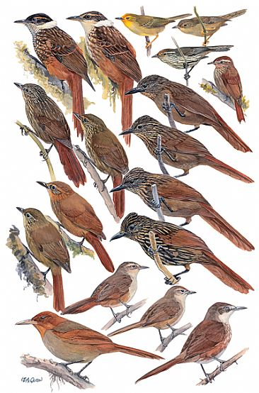 OVENBIRDS 6 (Highland Foliage-gleaners) - Birds of Peru by Larry McQueen