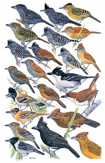 ANTBIRDS 1 (Crested Antshrikes) - Birds of Peru by Larry McQueen