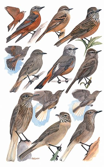 FLYCATHCERS 11  (Bush-tyrants and Shrike-tyrants) - Birds of Peru by Larry McQueen