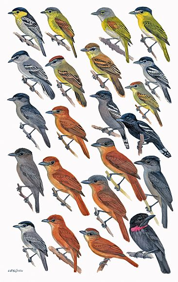 FLYCATCHERS 17 (Becards) - Birds of Peru by Larry McQueen