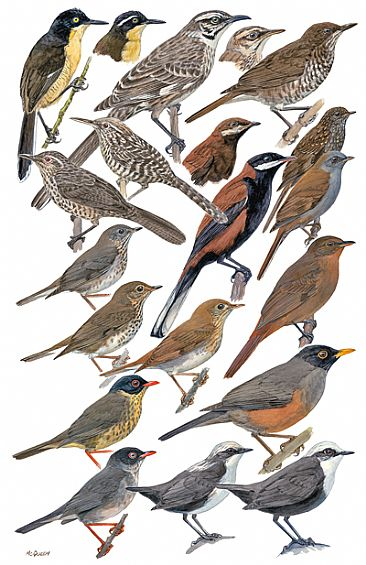 THRUSHES, MIMIDS, WRENS, DIPPERS - Birds of Peru by Larry McQueen