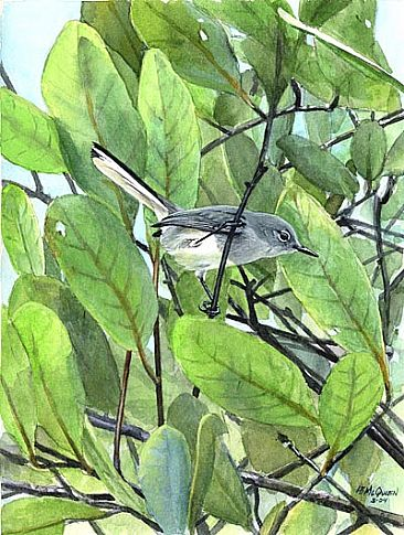 Iquitos Gnatcatcher - New species in n-e Peru by Larry McQueen