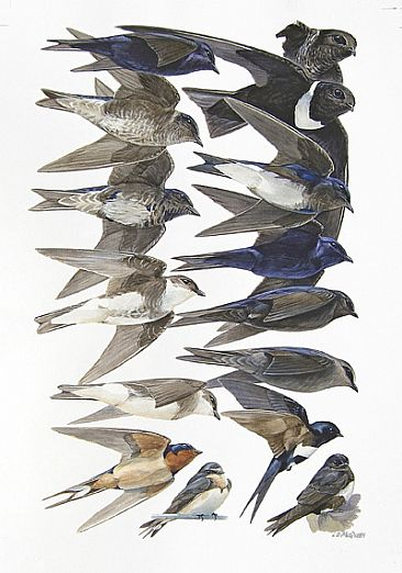 MARTINS and SWALLOWS - Birds of Peru by Larry McQueen