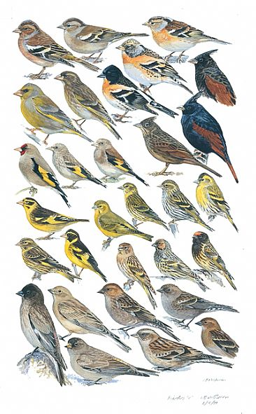 MOUNTAIN-FINCHES and SISKINS - Birds of South Asia by Larry McQueen