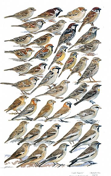 SPARROWS and SNOWFINCHES - Birds of South Asia by Larry McQueen