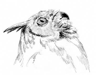 Great Horned Oel Study 2 -  by Sharon K. Schafer