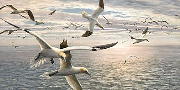 Over the Shoal - Gannets by Martin Ridley