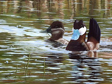 Goin Courtin - Pair of Ruddy Ducks by Cindy Sorley-Keichinger