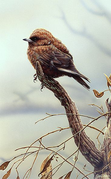 Australian Duskywood Swallow SOLD  - Australian wildlife by Christopher Pope