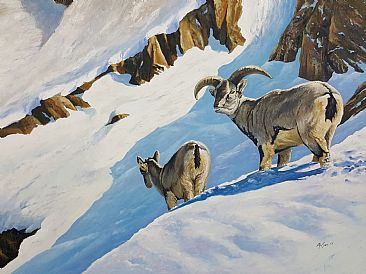 After the snow - Bharal sheep (blue sheep) by Ahsan Qureshi